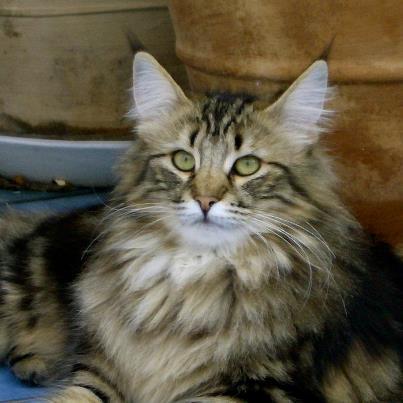 Allevamento Gatti Delle Foreste Norvegesi A Roma Blue Lynx Cattery