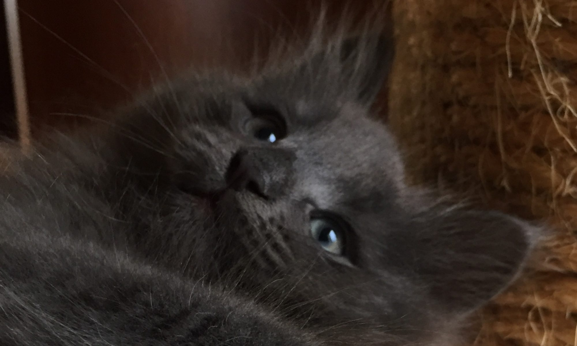 Blue Lynx Cattery